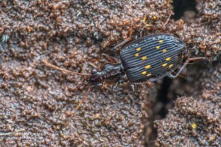 Ground beetle (Lebiinae) - DSC_3607