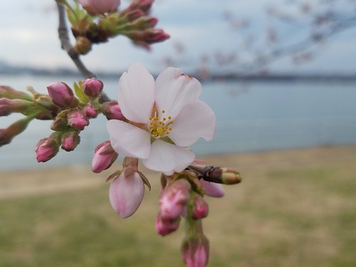 Cherry Blossom against the Potomac