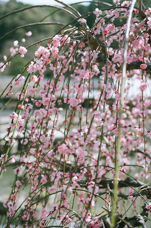 梅の花 | Ume blossom