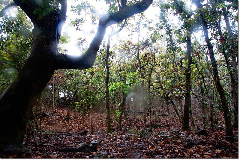 一場山槲樹純林 12