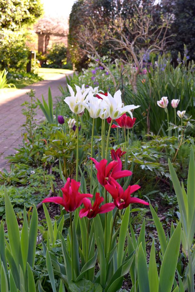 Tulips at The Geffrye Museum of the Home | www.rachelphipps.com @rachelphipps