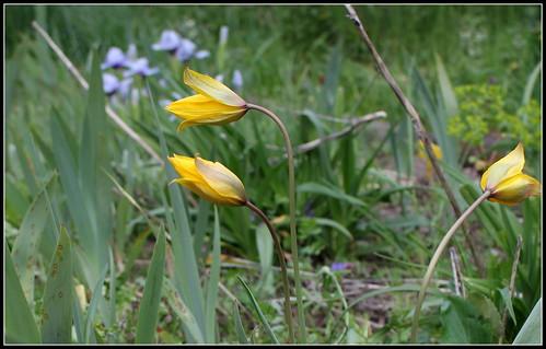 Tulipa sylvestris - tulipe sylvestre  34077800296_978a5b9af5
