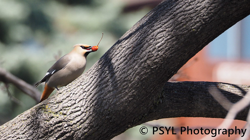 Bohemian Waxwing (Bombycilla garrulus)