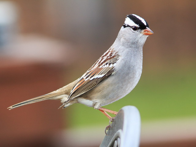White-crowned Sparrow 20141010