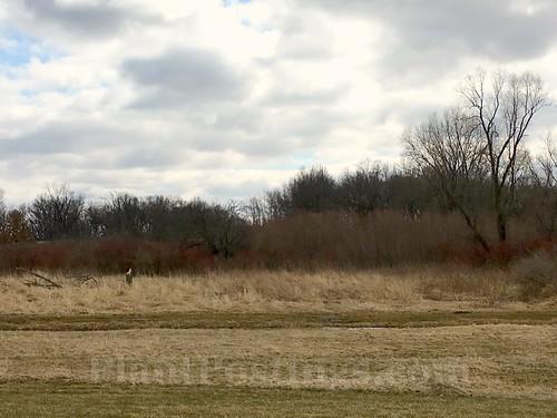 cornus sericea landscape