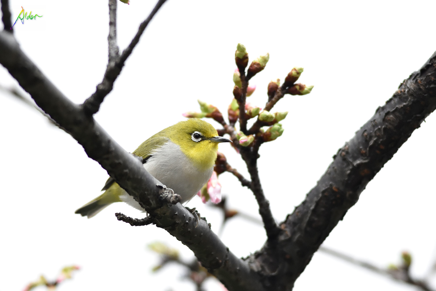 Sakura_White-eye_7770