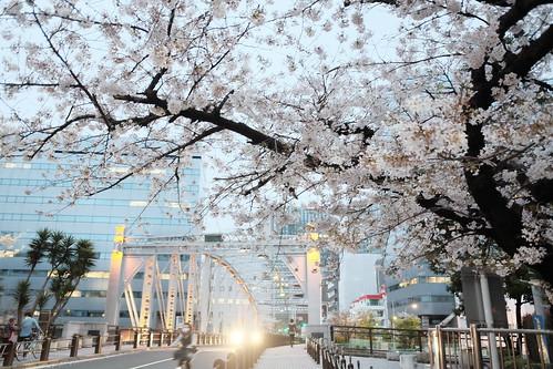 sakura blooming street