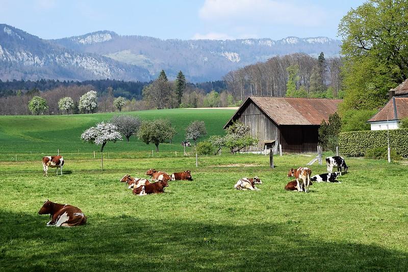 Cows 11.04 (2)