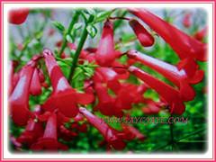 Russelia equisetiformis (Firecracker Plant, Coral Fountain/Plant, Fountain Plant, Coralblow) with gorgeous fiery red flowers, 8 April 2017