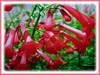 Russelia equisetiformis (Firecracker Plant, Coral Fountain/Plant, Fountain Plant, Coralblow)