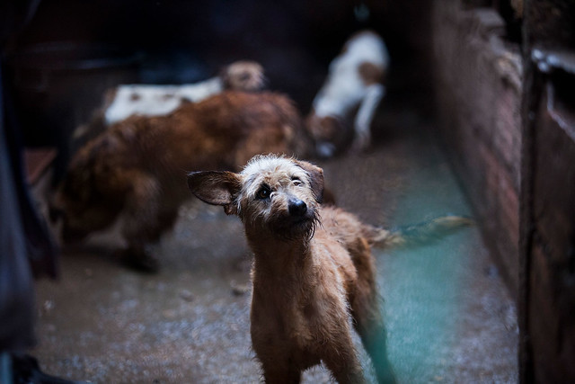 Desesperado para encontrar destino para 17 cães saídos da rua