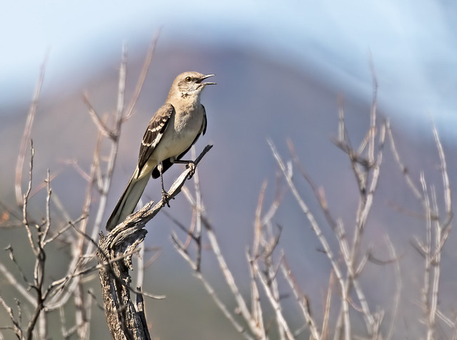 Mocking-Bird-13-7D2-032017