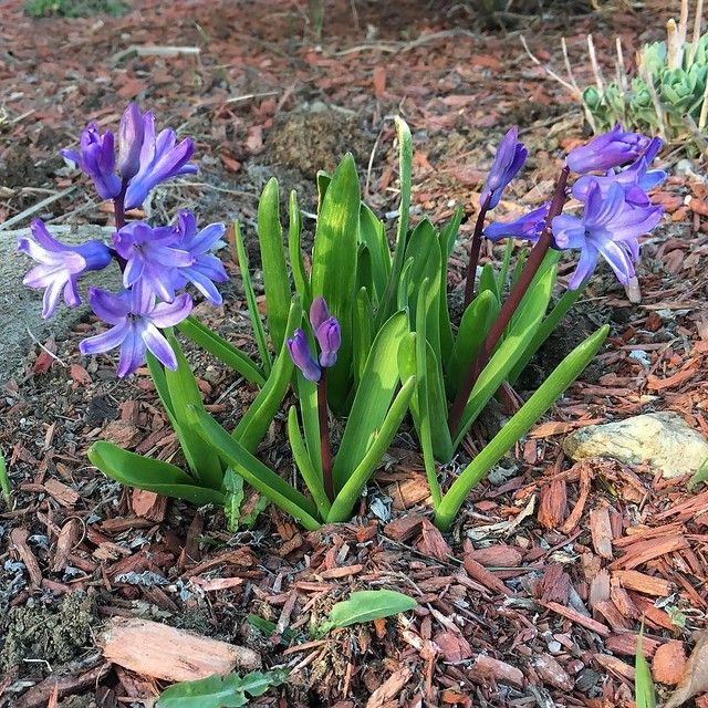 Not particularly robust hyacinths but def multiplying.