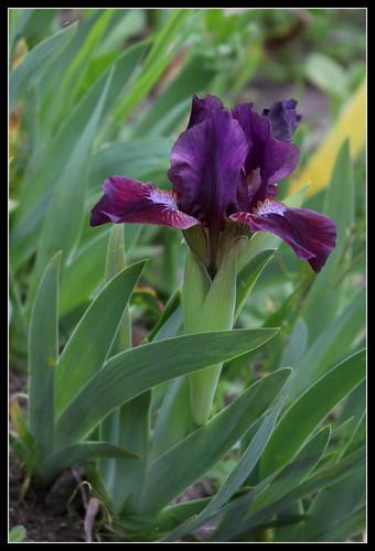 Iris 'Fillette' - Loïc Tasquier 2010 33892445872_bddb2e62b6