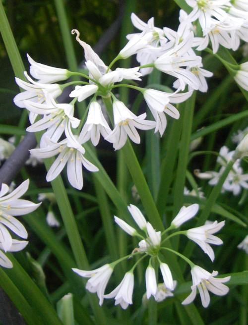 Allium triquetrum 32965572013_3baa81af1f_o