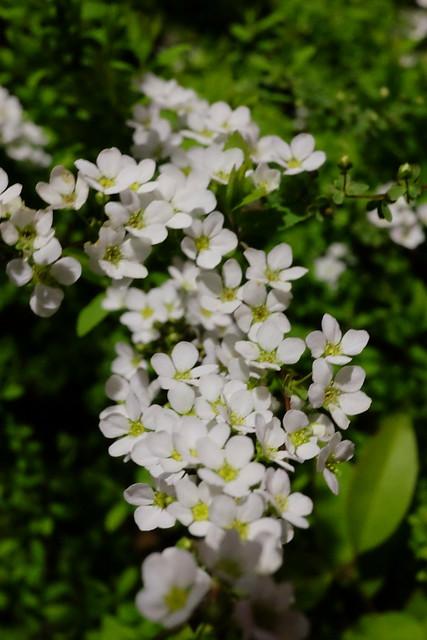 """Custom white balance"" Spiraea thunbergii"