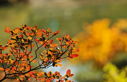 Fall Azalea Leaves | by HorsePunchKid