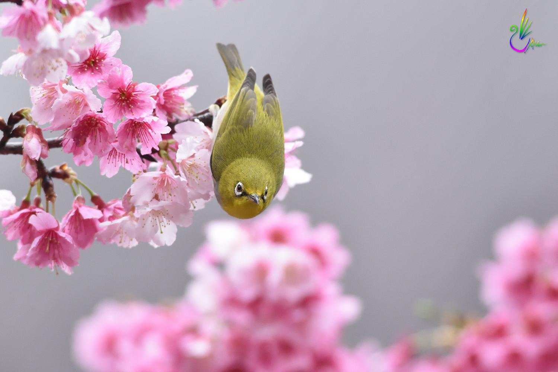 Sakura_White-eye_1538