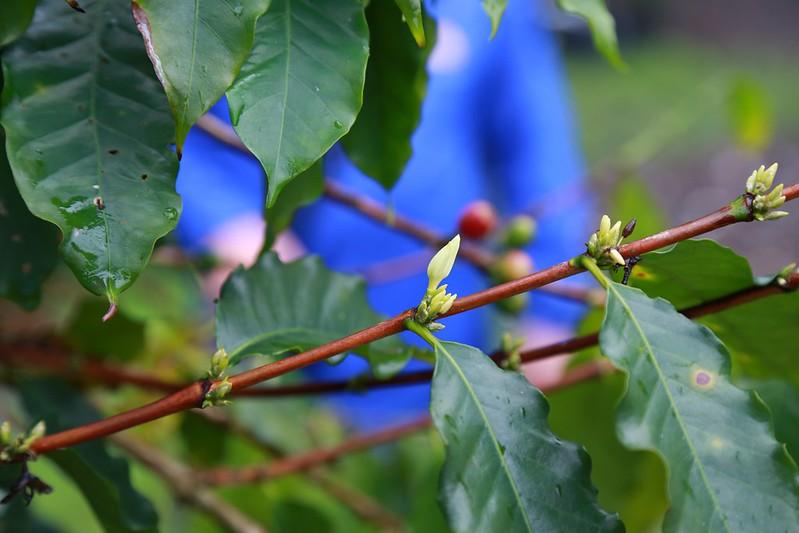 咖啡樹葉呈波浪型