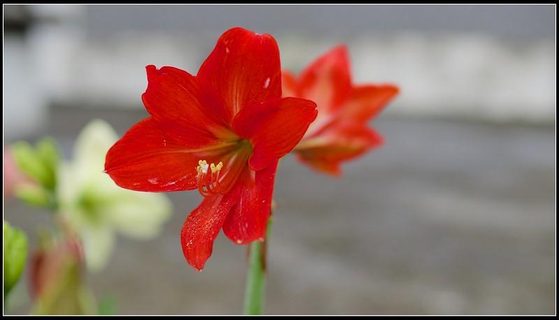 孤挺 - 16 - Red Lady紅姑 - P4156586 (1)