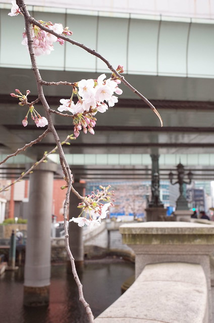 cherry blooming at Nihonbashi bridge