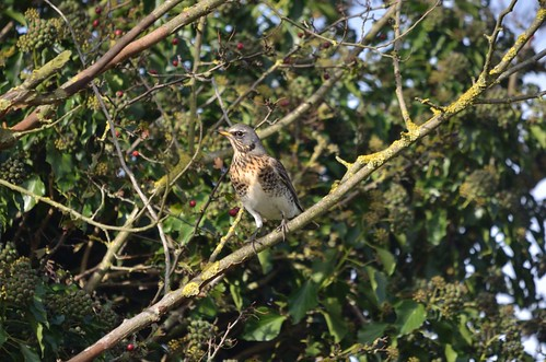 Fieldfare | by markhows