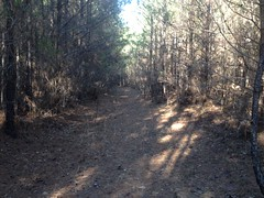 Trail Through Piney Woods