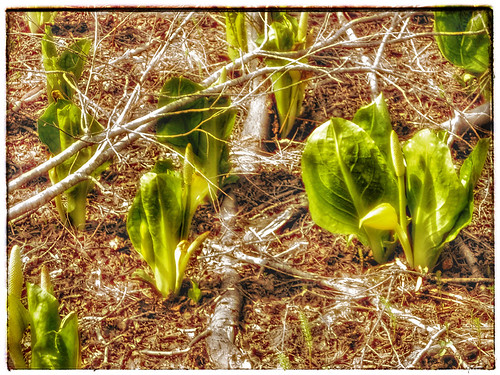 Yellow Skunk Cabbage plants in Snapseed