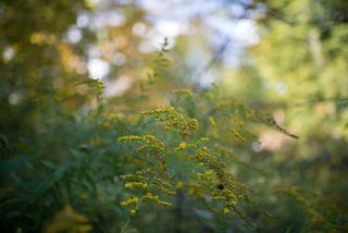 Goldenrod | by goingslowly