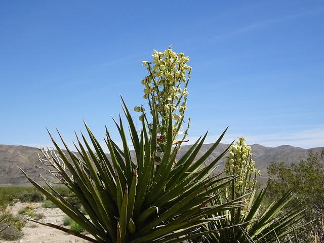 Flowering Joshua Tree