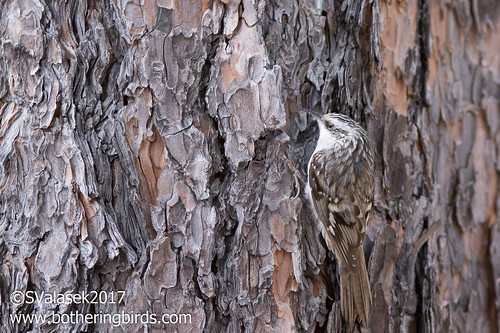 Brown Creeper | by Bothering Birds
