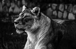 Lioness is looking for him [explored] | by Go 4 IT