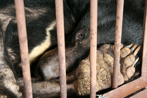 Moon bear Chengdu Truth on a bear bile farm