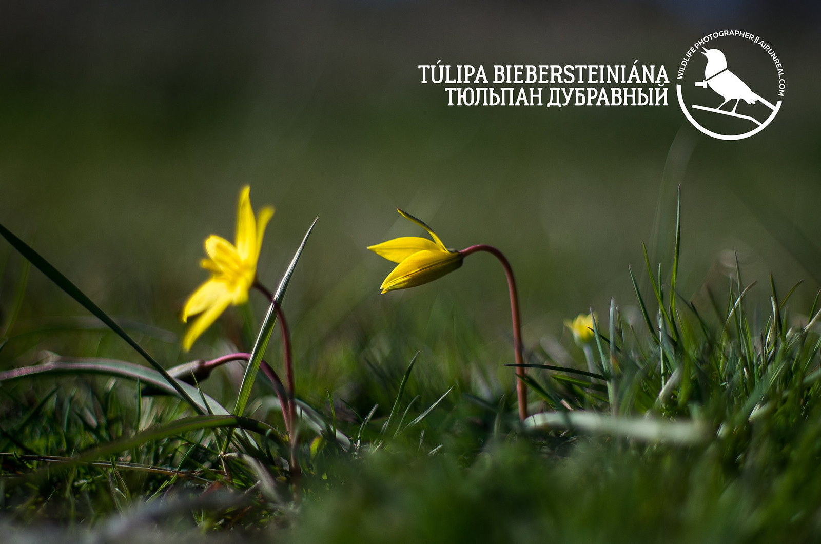Tulipa biebersteiniana // 06042017