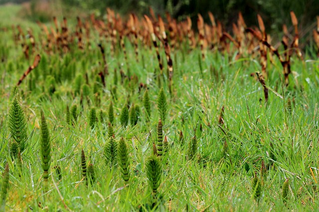 Horsetail Forest