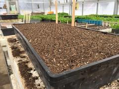 sowing onions drumlin farm IMG_0294