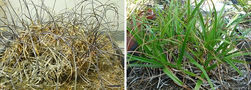 Xerophyta viscosa plants,