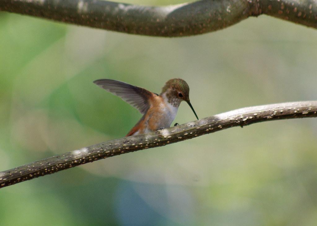 Birds hummingbirds flickr for Oregon department of fish and wildlife jobs