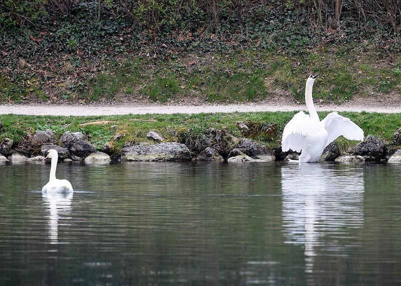 Swans 26.03 (11)