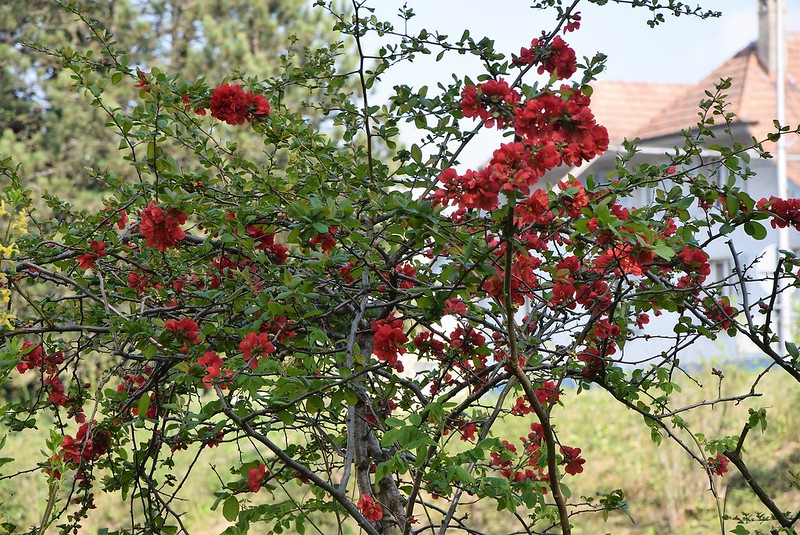 Red Flowering Bush 11.04 (2)