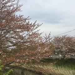 4月17日の桜