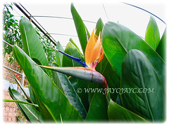 Strelitzia reginae [Crane Flower/Plant, Bird of Paradise, Bird of Paradise flower/plant, Crane-leaved Strelitzia] with its unique flower, 31 July 2005