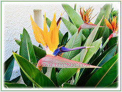 Strelitzia reginae [Crane Flower/Plant, Bird of Paradise, Bird of Paradise flower/plant, Crane-leaved Strelitzia] flowering beautifully, 14 Aug 2014