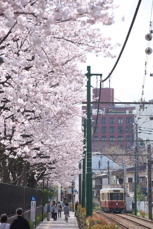 桜と都電荒川線