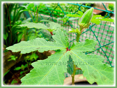 Palmated leaves and fruit of Abelmoschus esculentus (Lady's Fingers, Okra, Gumbo), 21 Nov 2011