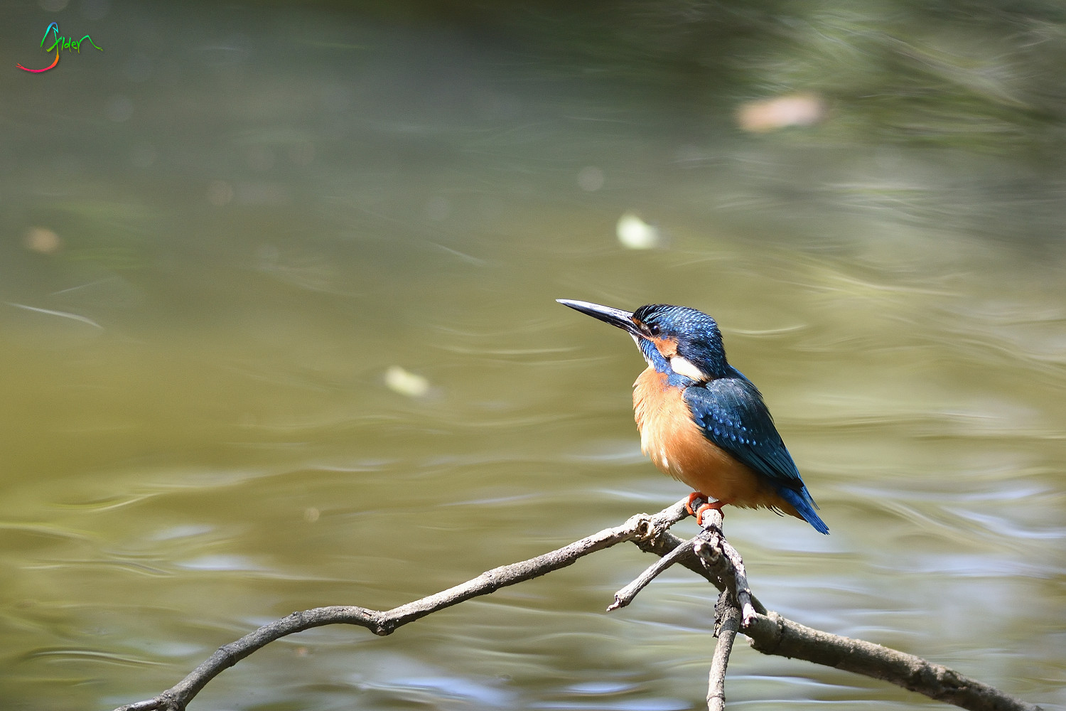 Common_Kingfisher_2989