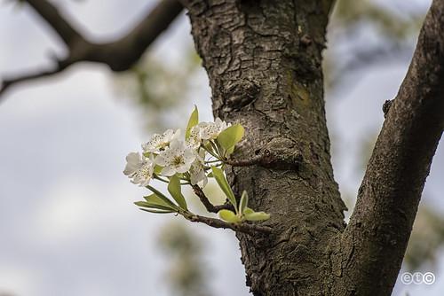 Fior di pero, Pear blossom
