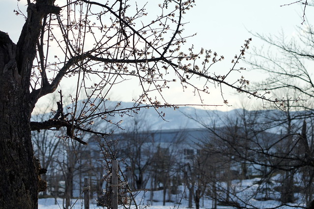 雪囲いに梅が咲く_201704_NO1