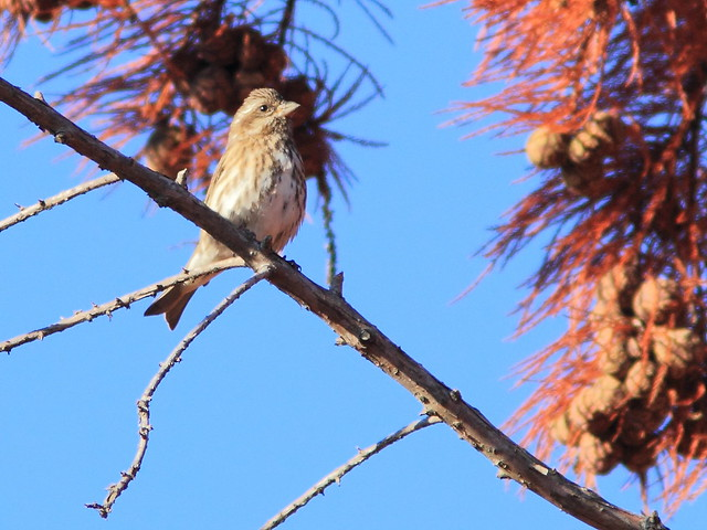 Purple Finch 03-20141022