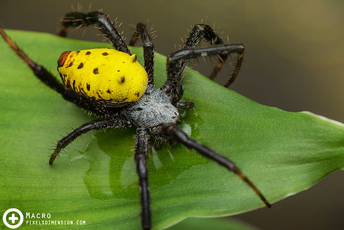 Yellow Tent Spider (Cyrtophora cylindroides ♀) drinking | by PF T.J.